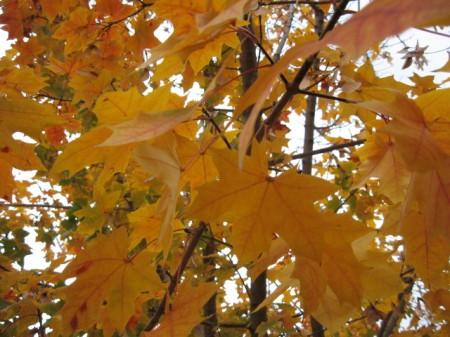 maple-skyward