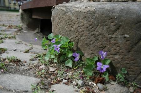 courageous violets!