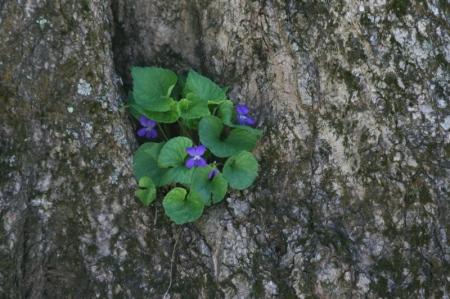 violet-cranny