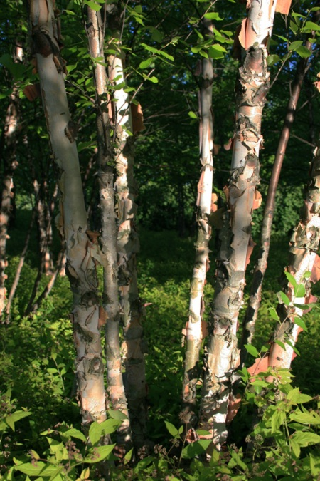 lovely birch trees