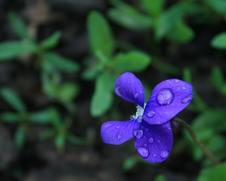 violet-waterdrops
