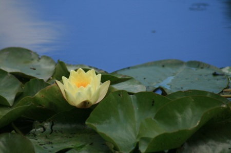 single yellow water lily