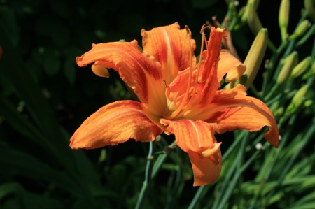 double daylily