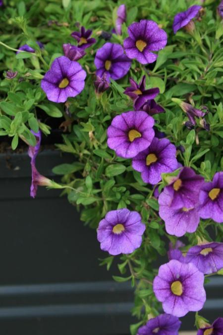 purple window box